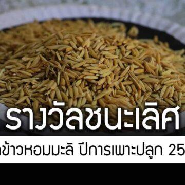 จังหวัดมหาสารคาม ประกาศผลการประกวดข้าวหอมมะลิ ปีการเพาะปลูก 2563/64