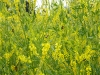 yellowclover