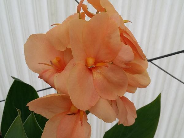 Canna Lily Peach