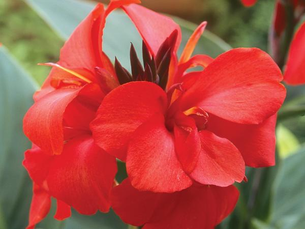Canna Lily Red 3 Gallon