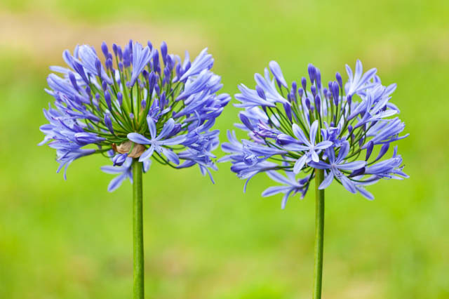 Agapanthus Blue Lily of the Nile 3 Gallon