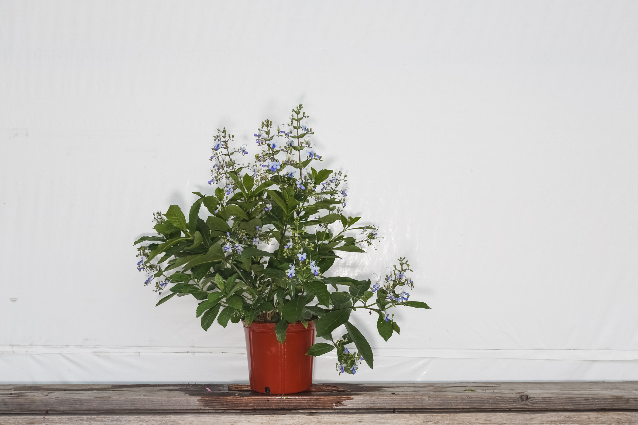 Butterfly Bush Clerodendrum Blue Butterfly 3 Gallon