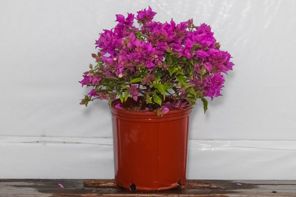 Bougainvillea Bush Purple 3 Gallon
