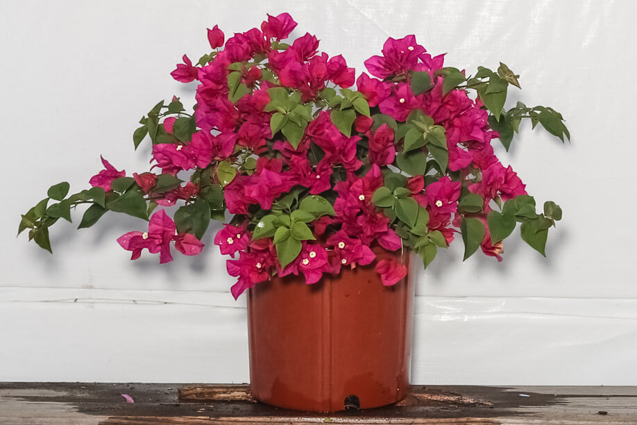 Bougainvillea Bush Red 3 Gallon