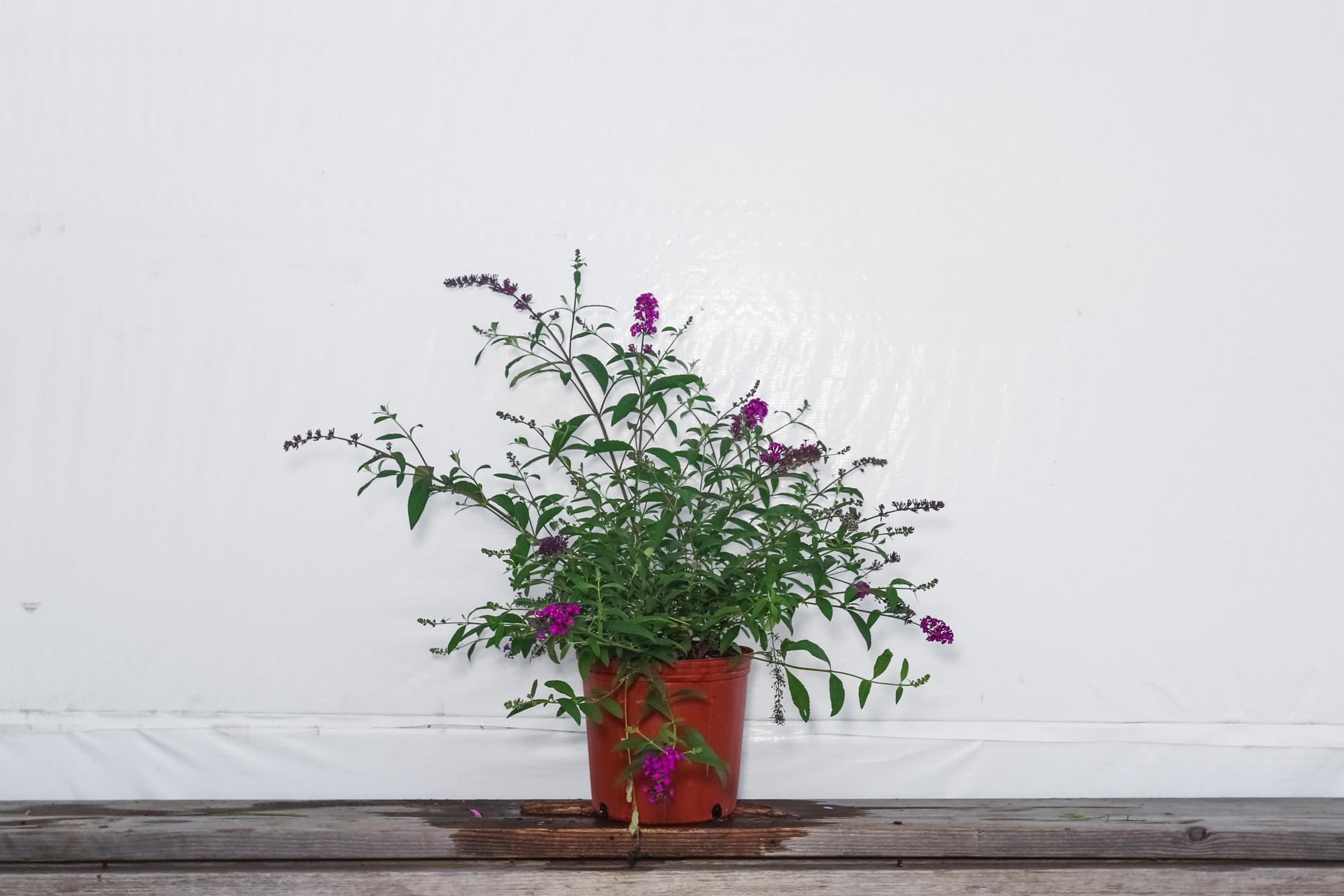 Buddleia Bush Royal Purple