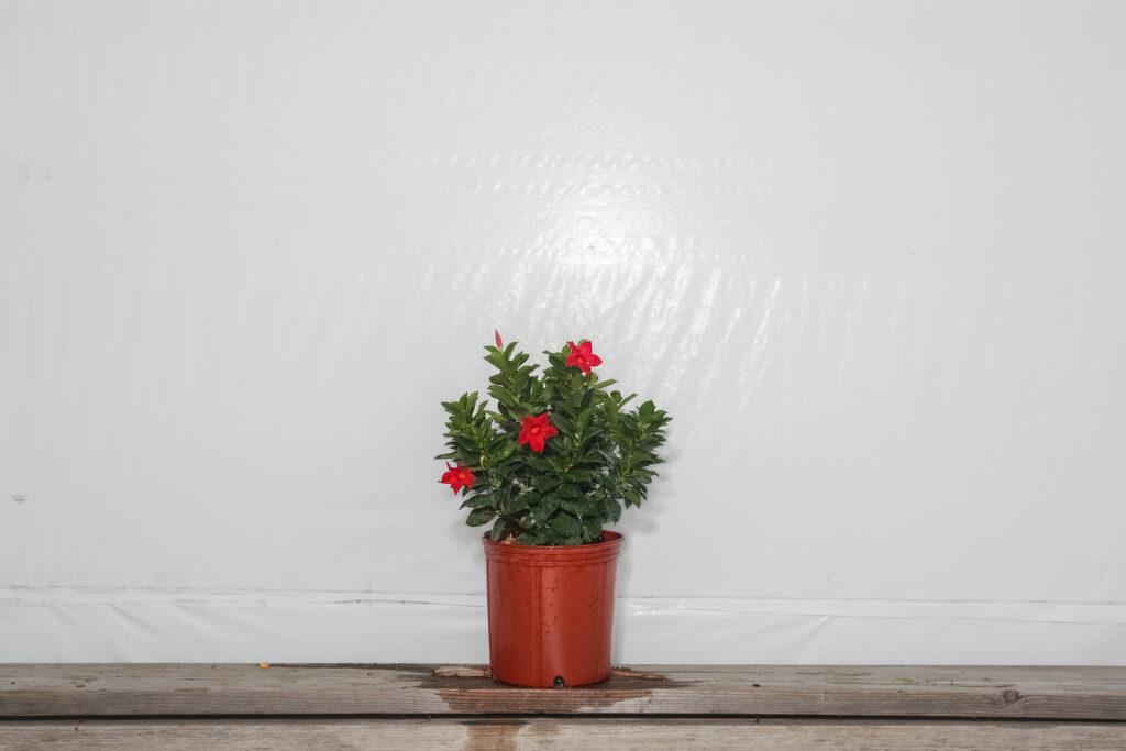 Dipladenia Bush Red Crimson