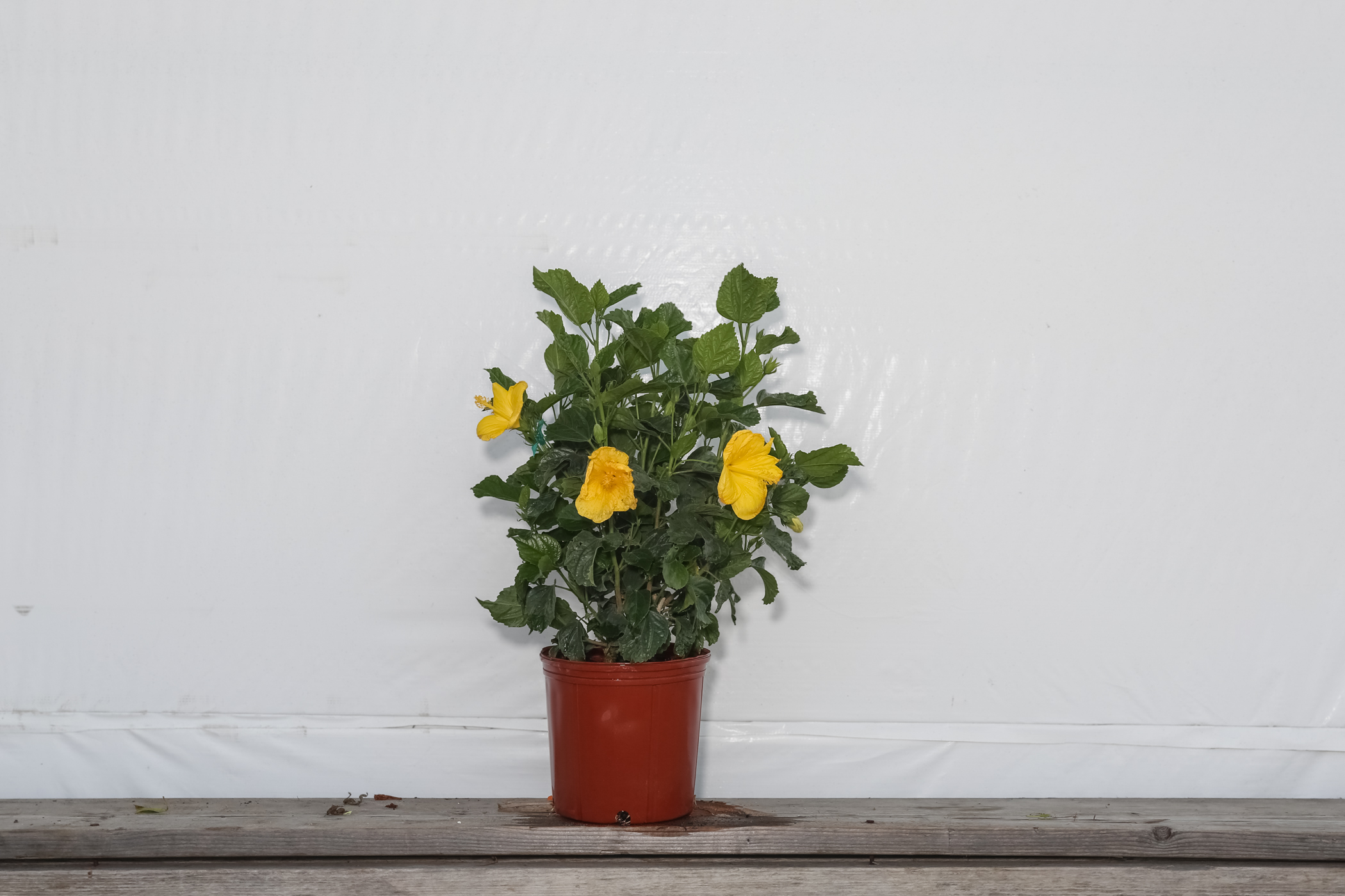 Hibiscus Bush Fort Myers Yellow 3 Gallon