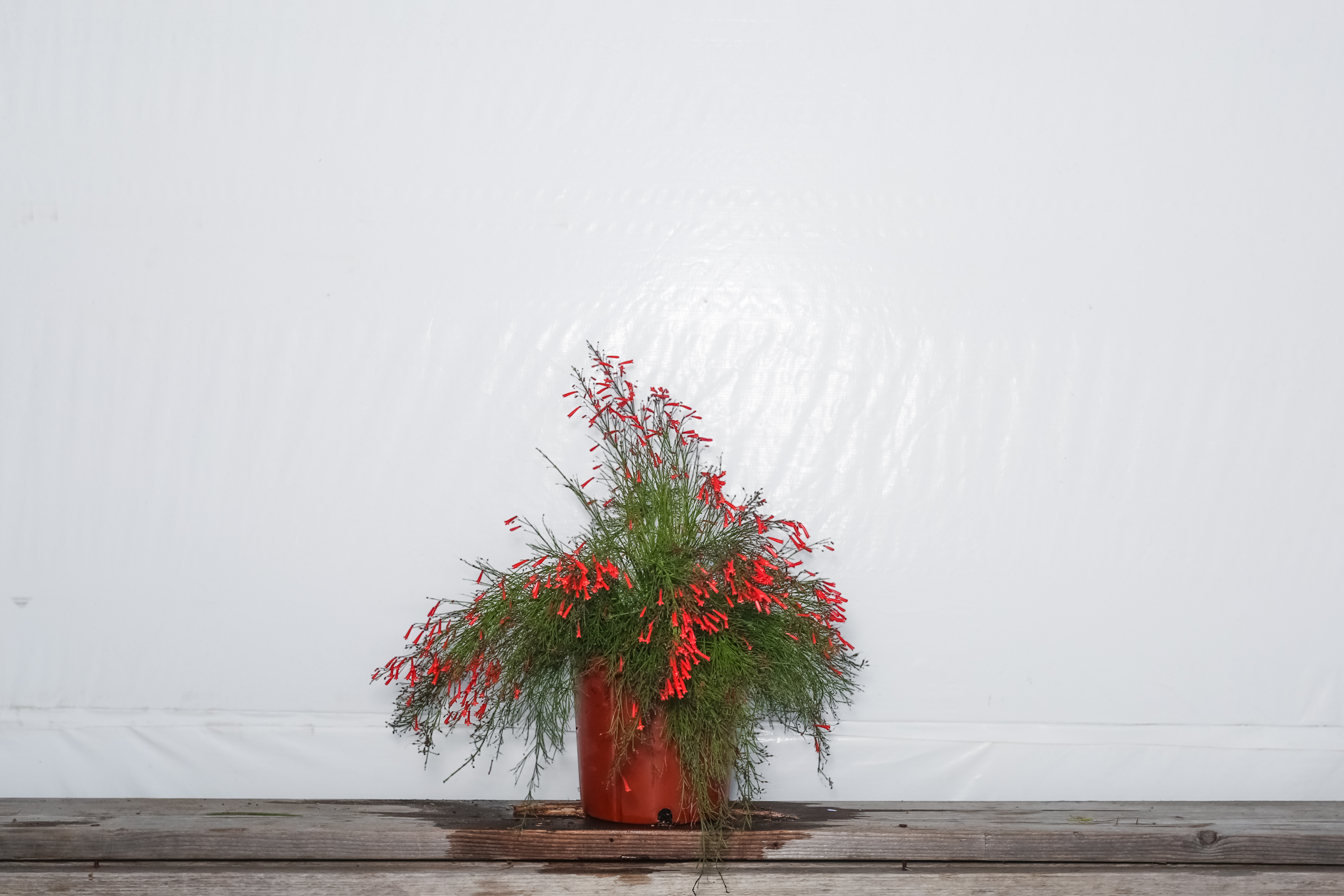 Firecracker Bush Red 3 Gallon