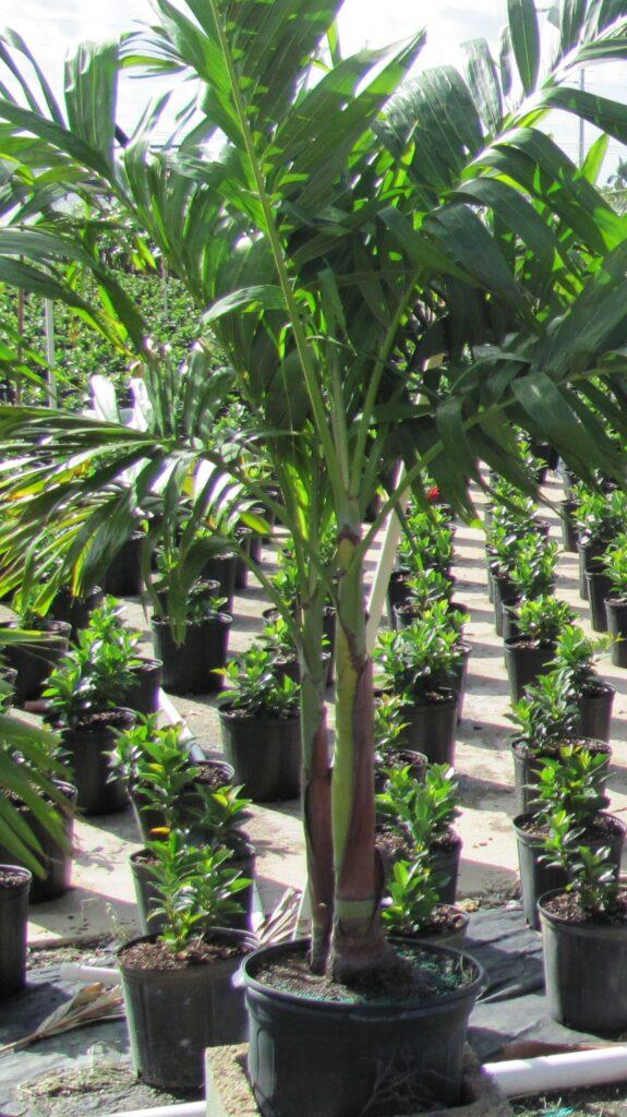 Adonidia Palm Tree 7 Gallon