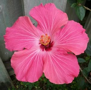 Hibiscus Dwarf Pink Painted Lady 1 Gallon