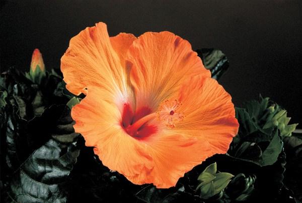 Yoder Dwarf Hibiscus Orange Mandarin Wind 1 Gallon