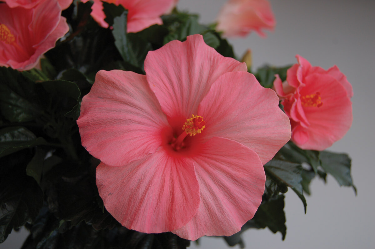 Yoder Dwarf Hibiscus Bush Pink Samoan Wind 3 Gallon