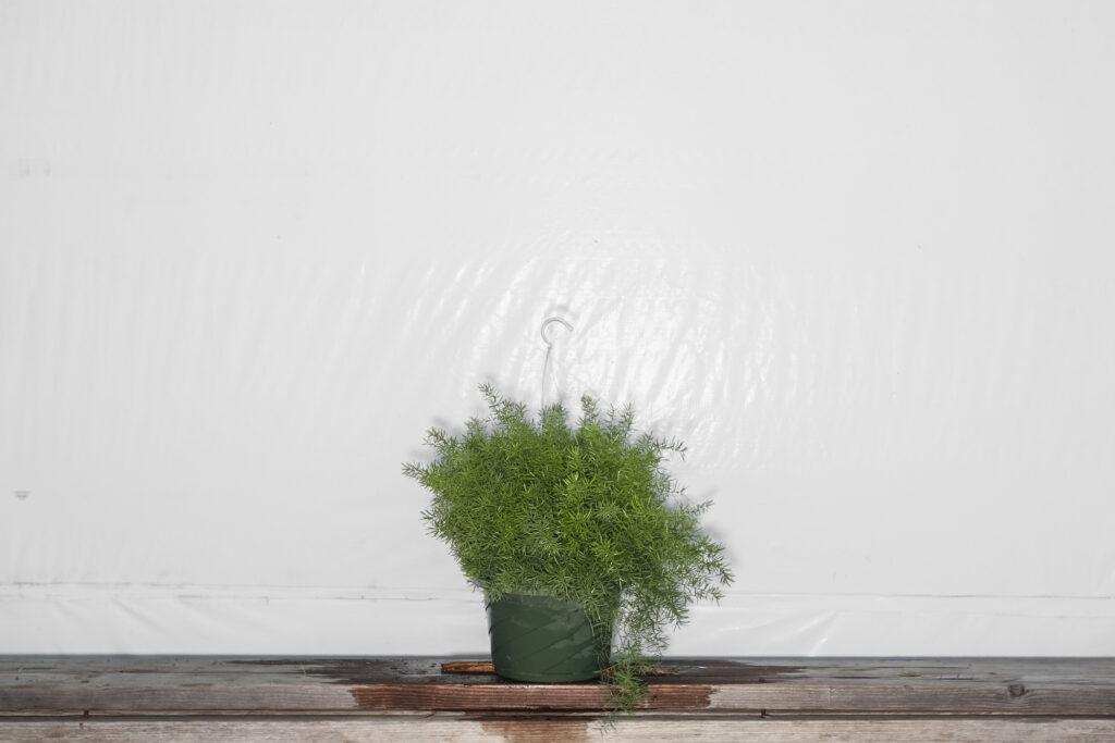 Sprengeri Asparagus Fern Hanging Basket