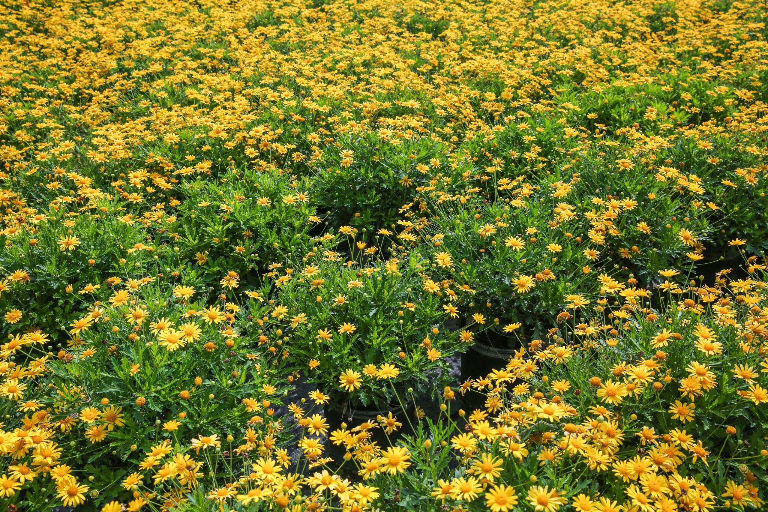 California Bush Daisy 3 Gallon