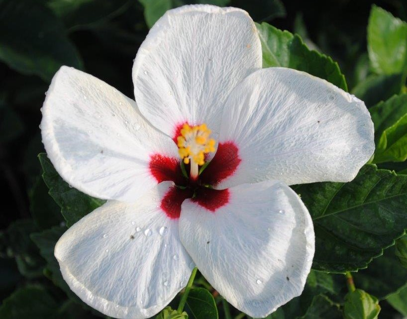Hibiscus Bush White Wing 7 Gallon