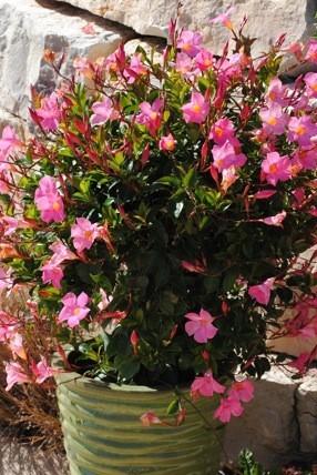 Mandevilla Trellis Pretty Pink 5 Gallon