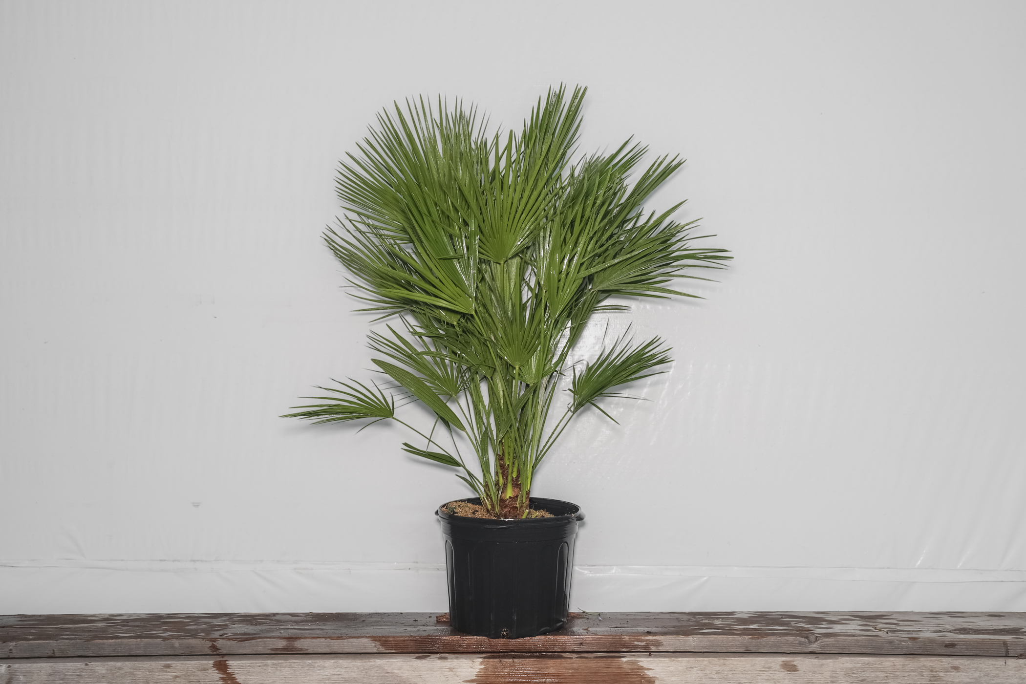 European Fan Palm 7 Gallon