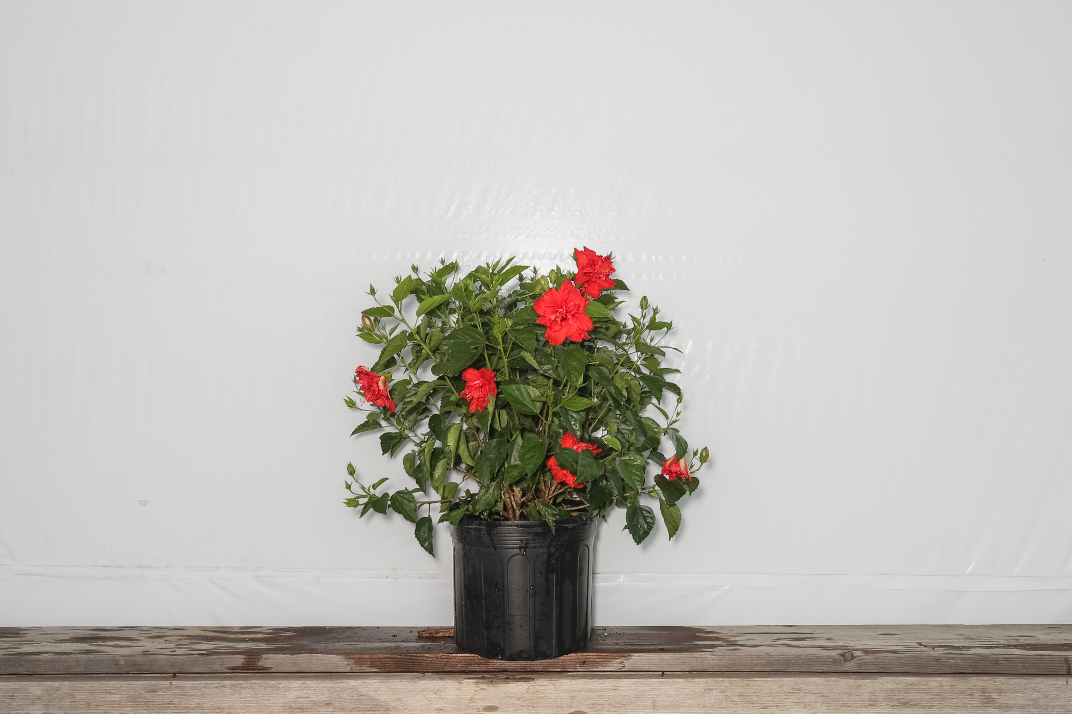 Hibiscus Bush Red Double Flower 7 Gallon