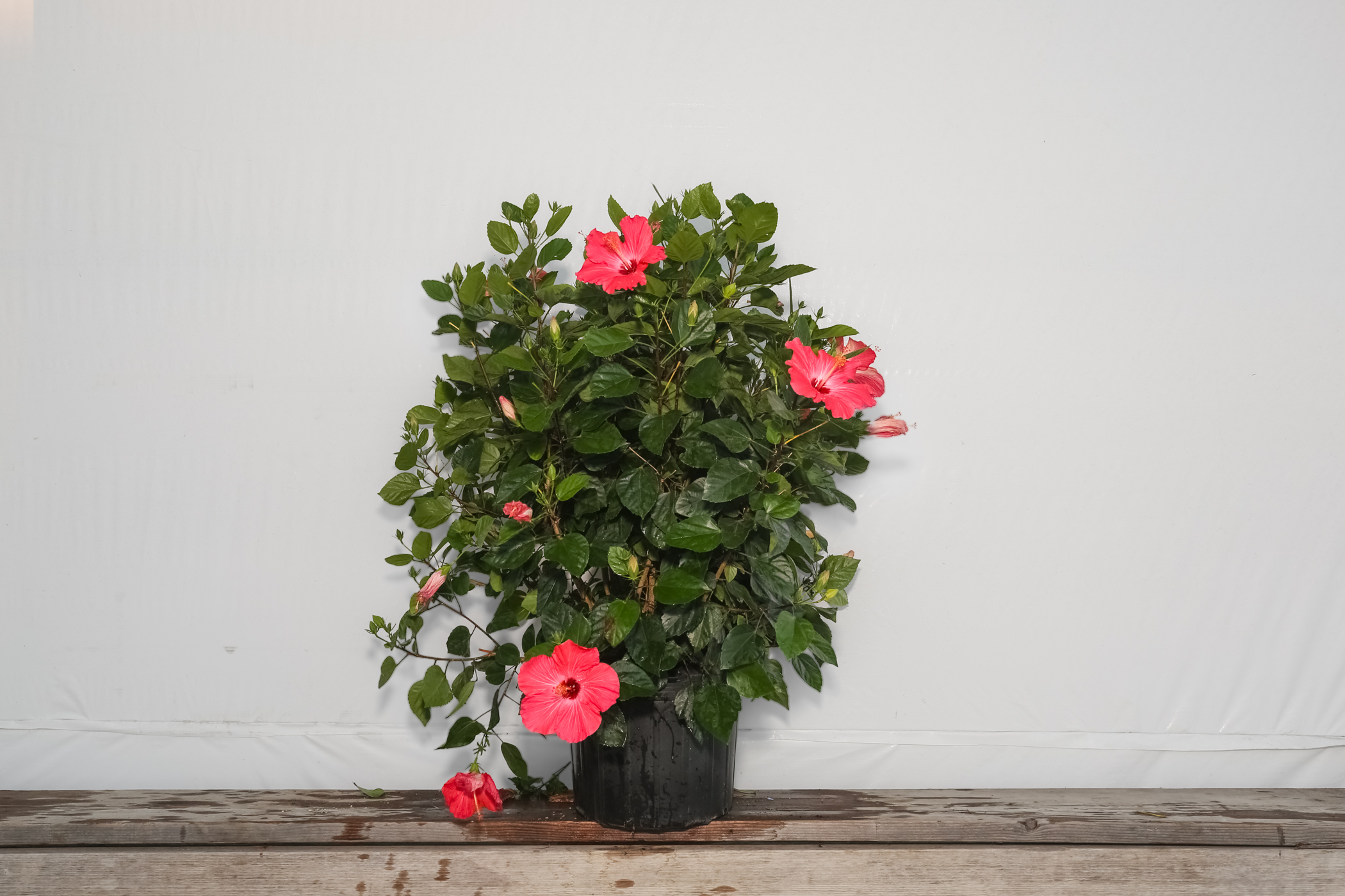 Hibiscus Bush Pink Painted Lady 7 Gallon