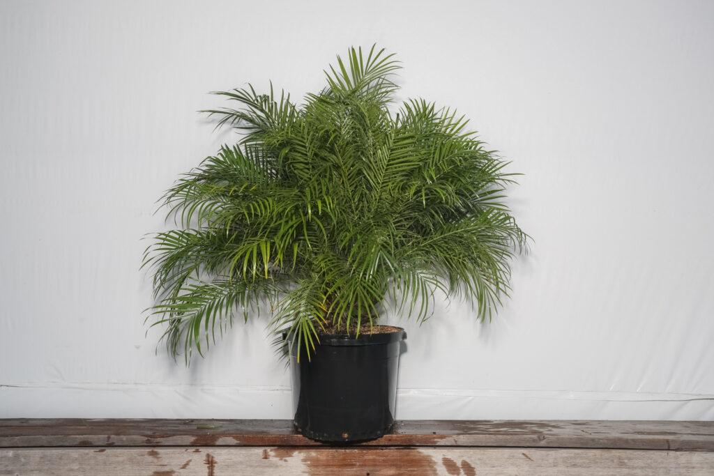 Roebellenii Palm 7 Gallon Roebelenii Palm