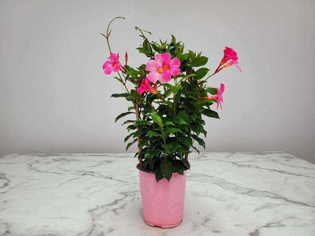 Dipladenia Trellis Pretty Pink