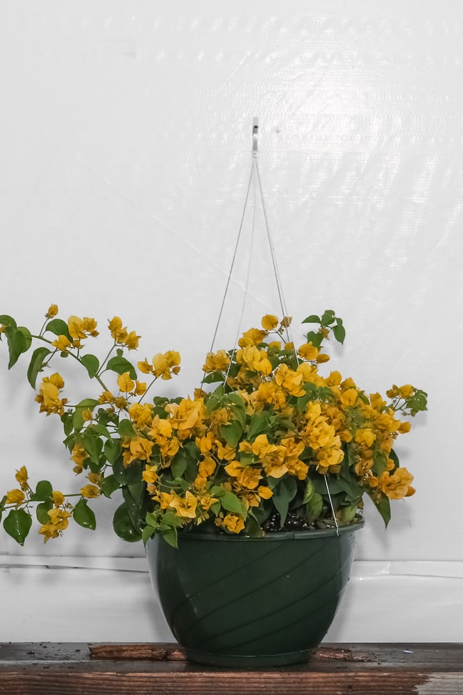 Bougainvillea Gold Hanging Basket