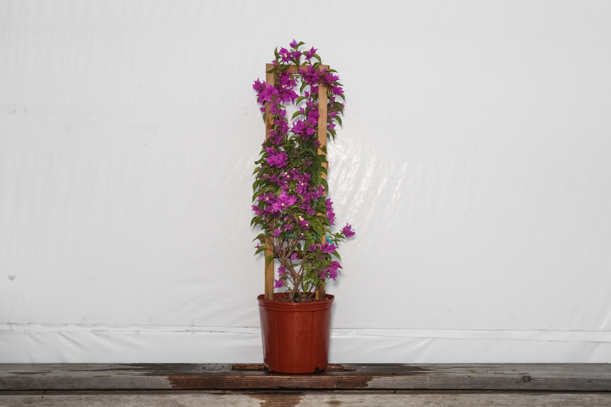 Bougainvillea Trellis Purple 3 Gallon