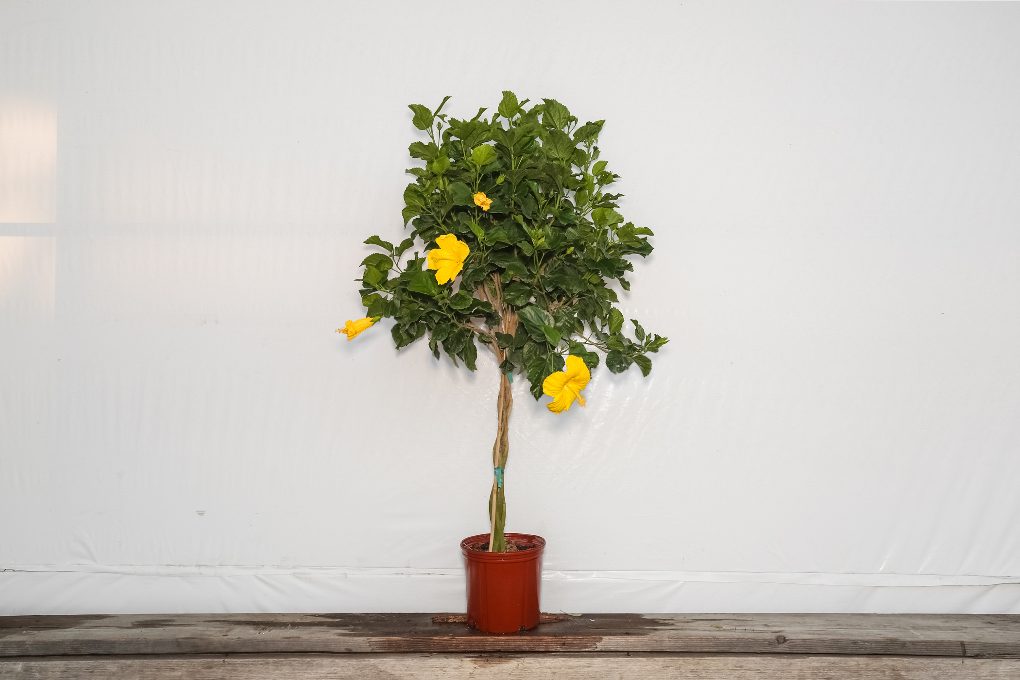 Braided Hibiscus Tree Yellow Fort Myers 3 Gallon