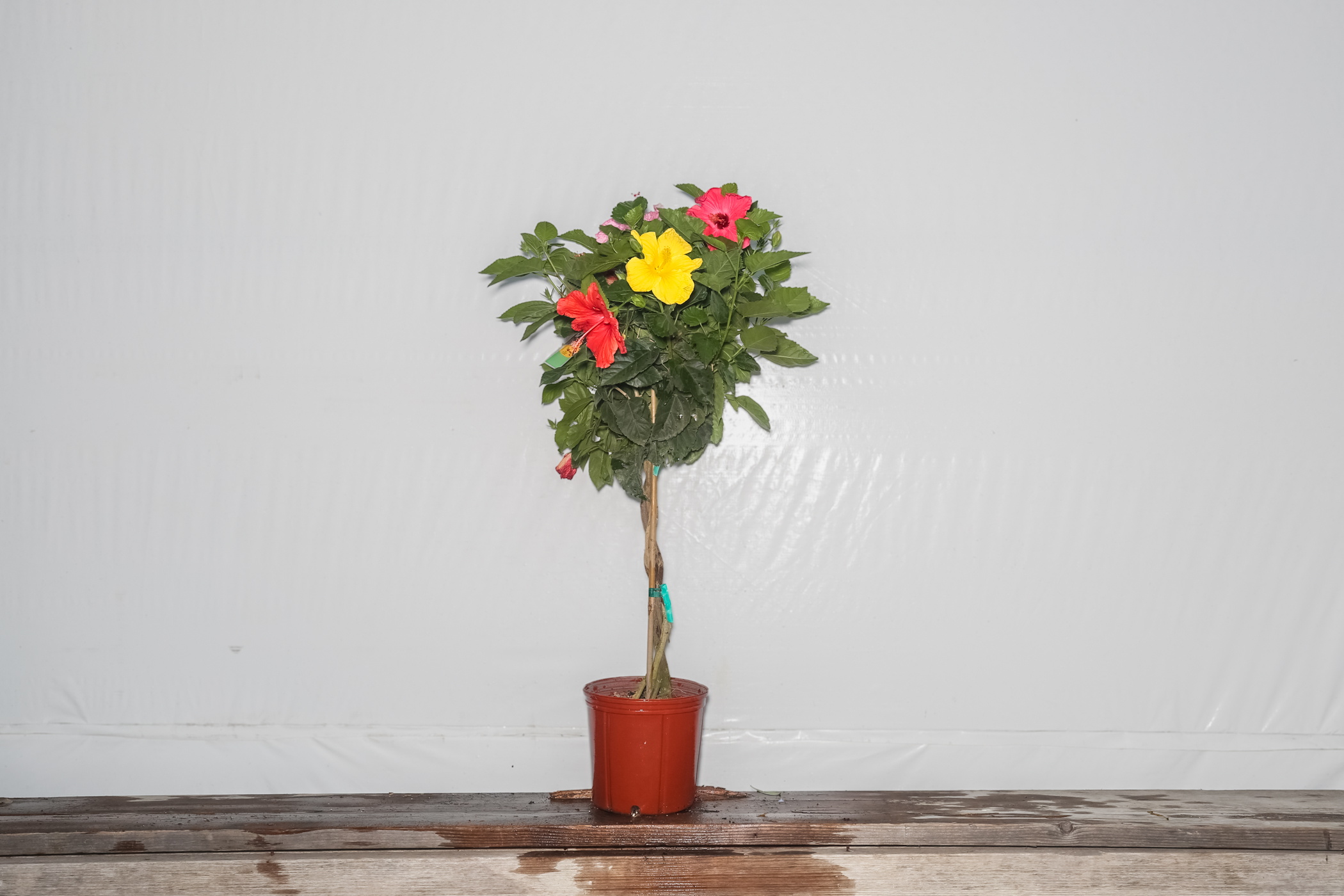 Braided Hibiscus Tree Four Mixed Colors 3 Gallon