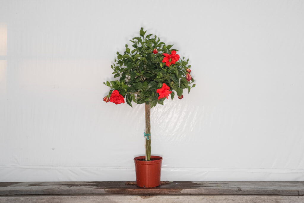 braided hibiscus tree red