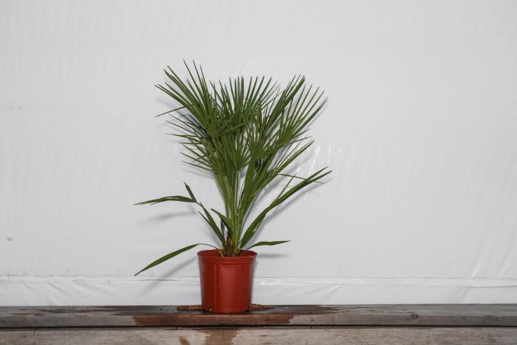 European Fan Palm Tree