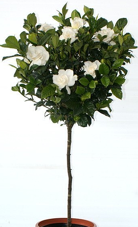 Gardenia Bush Aimee 3 Gallon