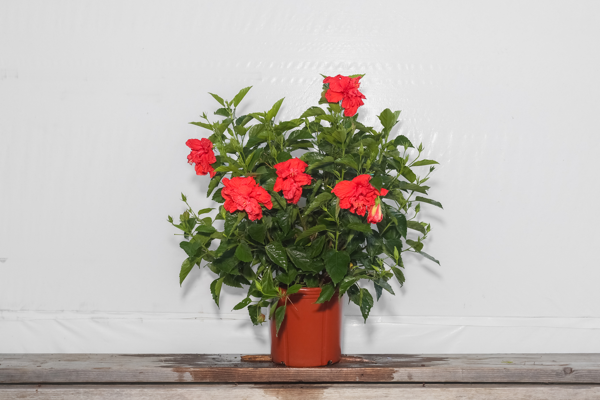 Hibiscus Bush Double Red 3 Gallon