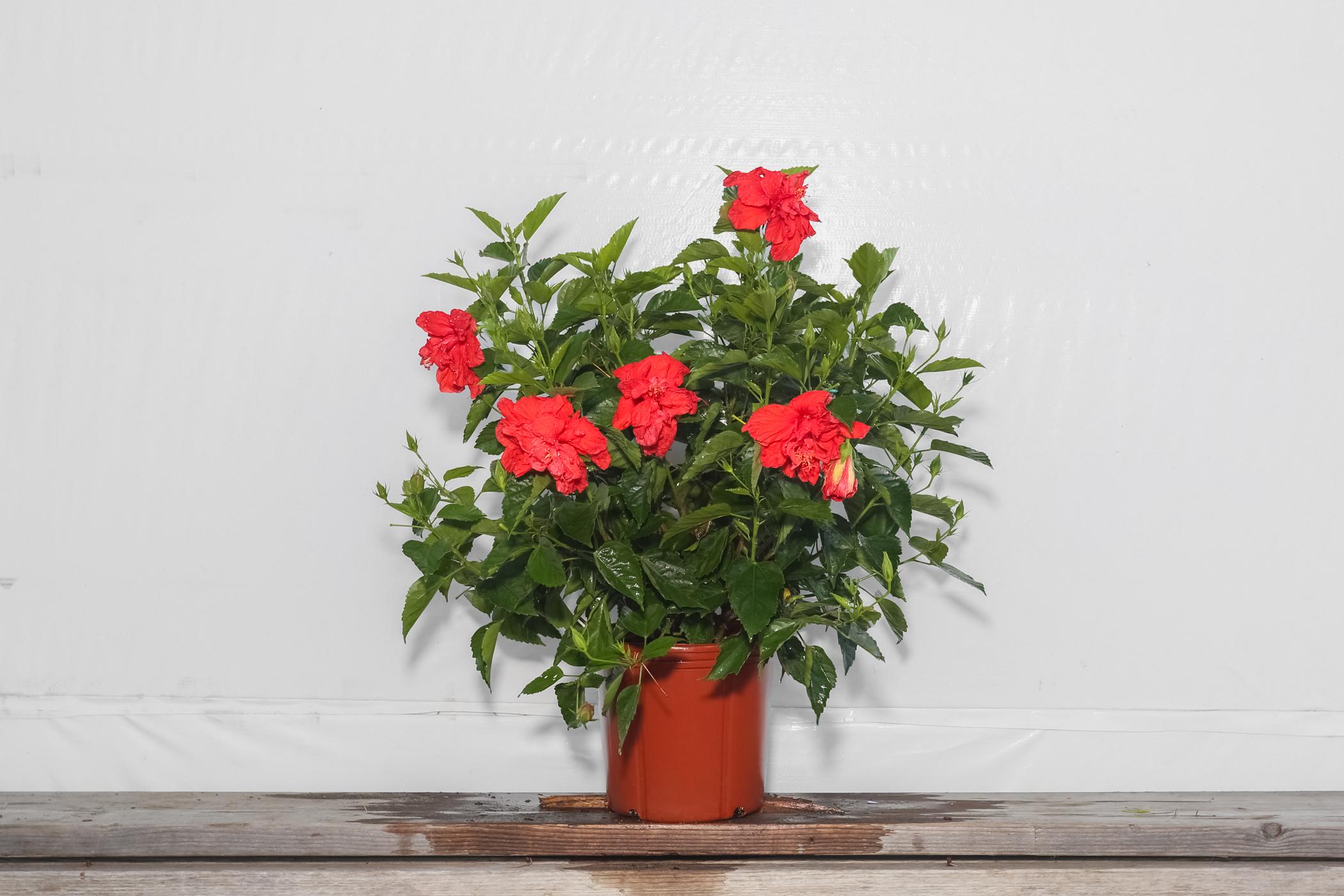 Hibiscus Bush Double Red 3 Gallon