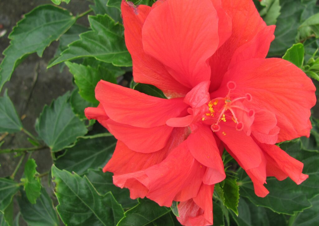 hibiscus dwarf red double Hibiscus Standard Red Double