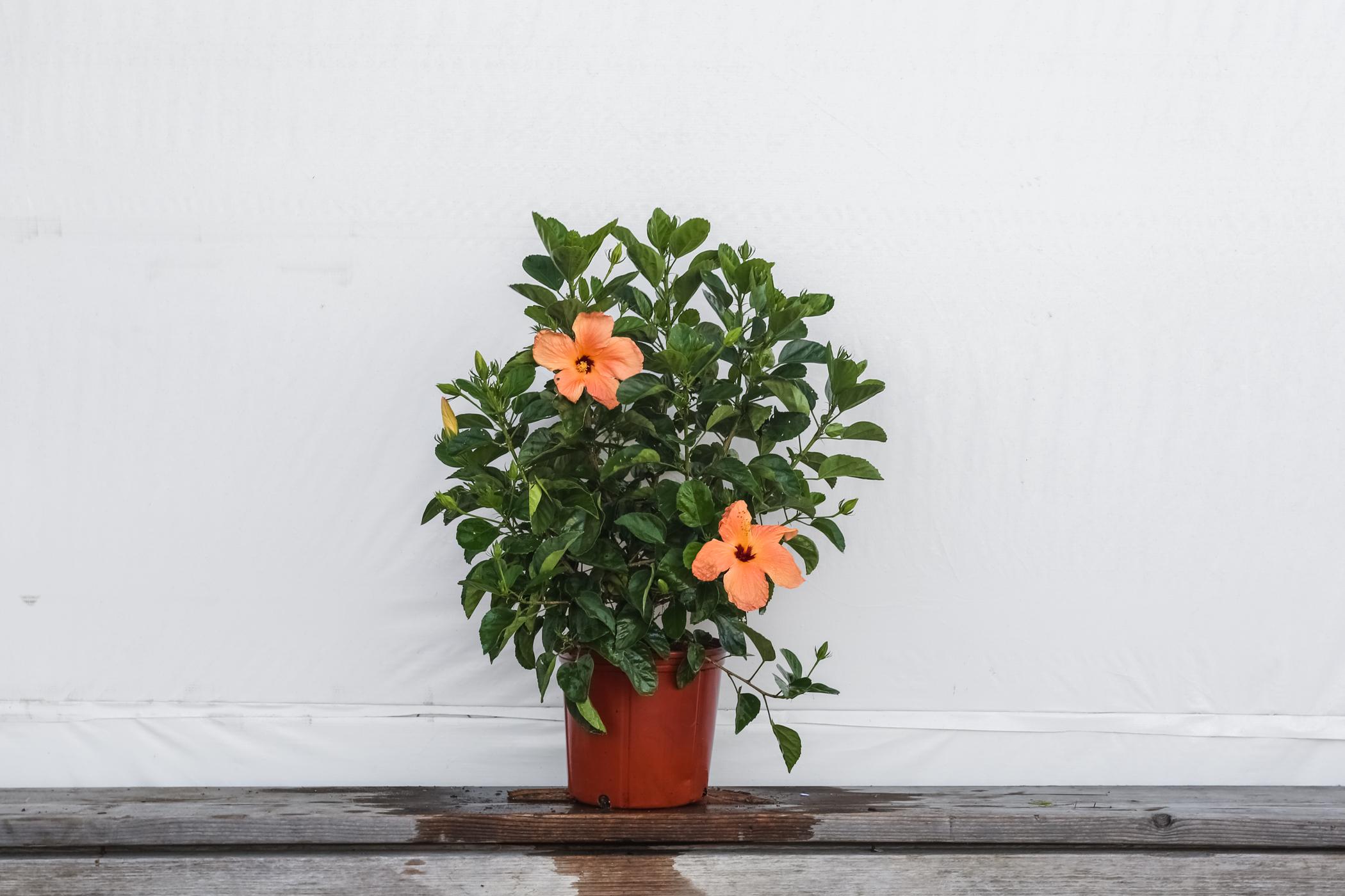Hibiscus Bush Single Peach 3 Gallon