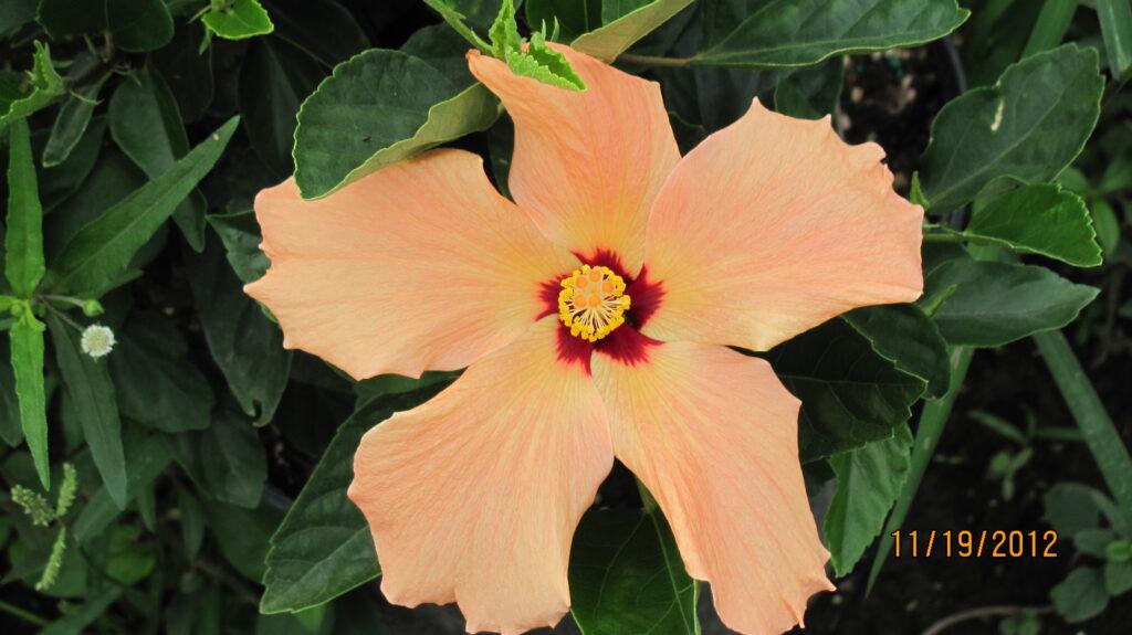 hibiscus dwarf peach Hibiscus Bush Single Peach Hibiscus Standard Peach Single Braided Hibiscus Tree Peach Single