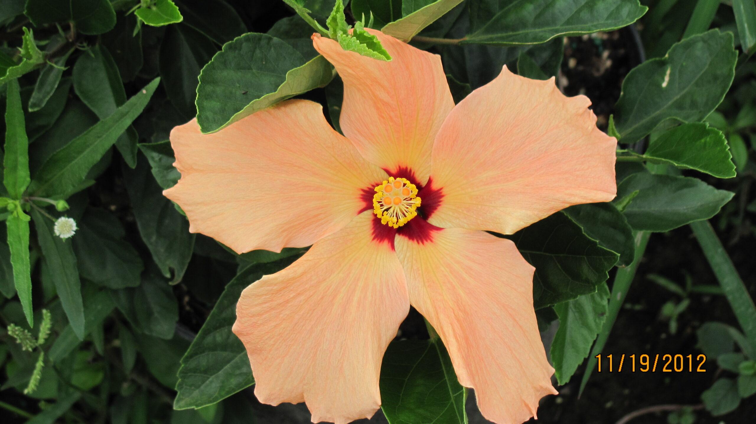 Hibiscus Dwarf Peach Single Flower 1 Gallon