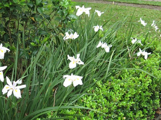 Iris White African Butterfly