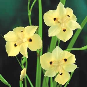Iris Yellow African Bicolor 3 Gallon