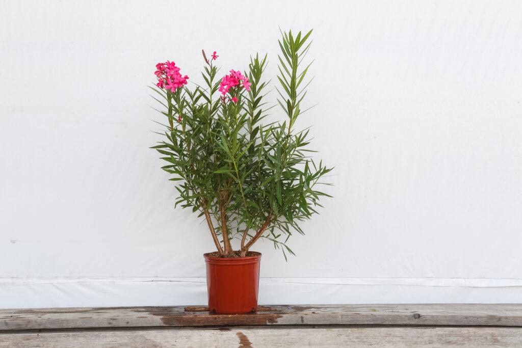 Oleander Bush Calypso Pink