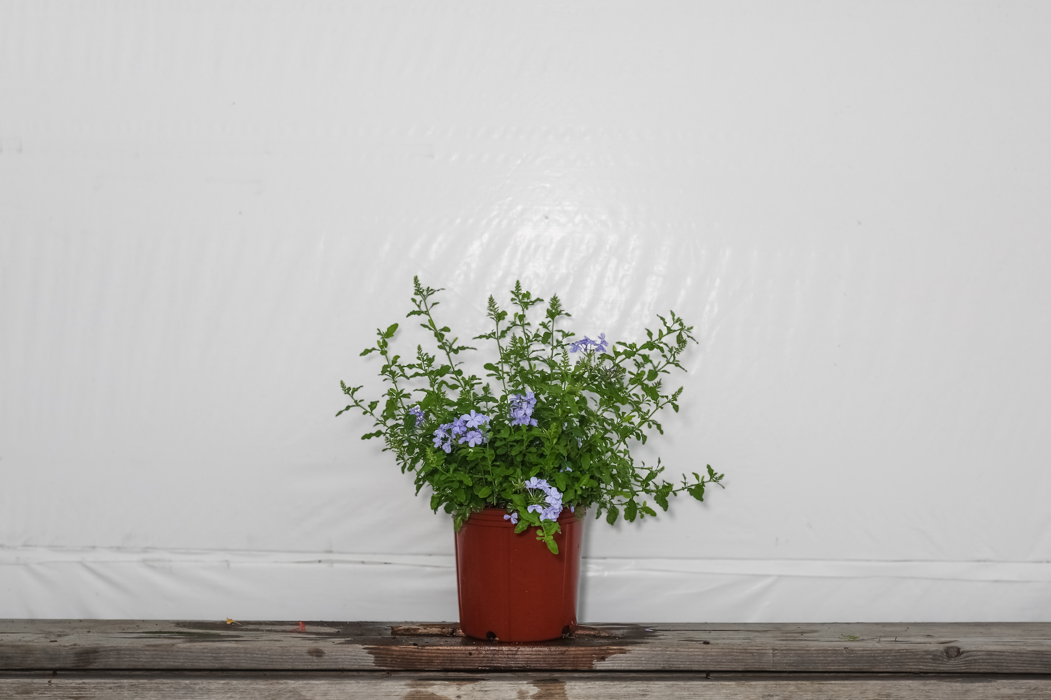 Plumbago Imperial Blue 3 Gallon