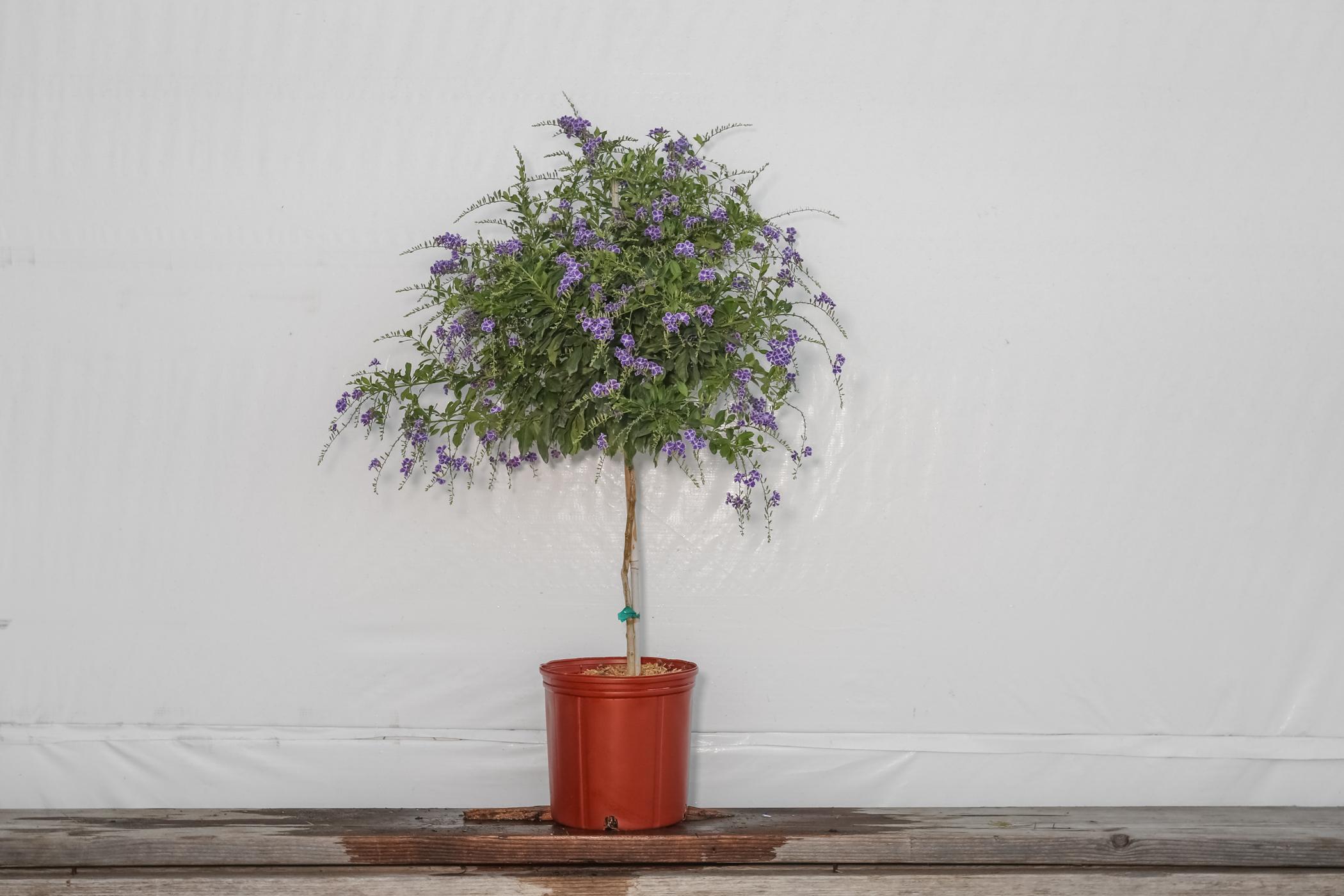 Duranta Sapphire Showers Tree 3 Gallon