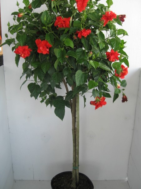 Hibiscus Standard Double Red Flower Tree 7 Gallon