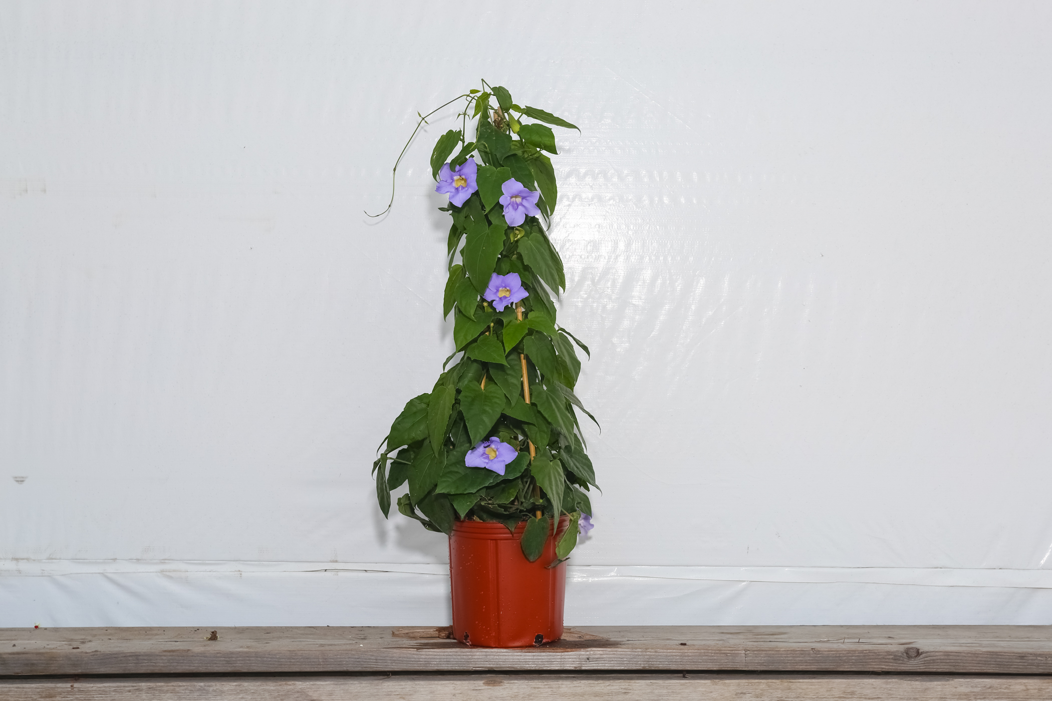 Sky Vine Trellis Thunbergia Purple 3 Gallon