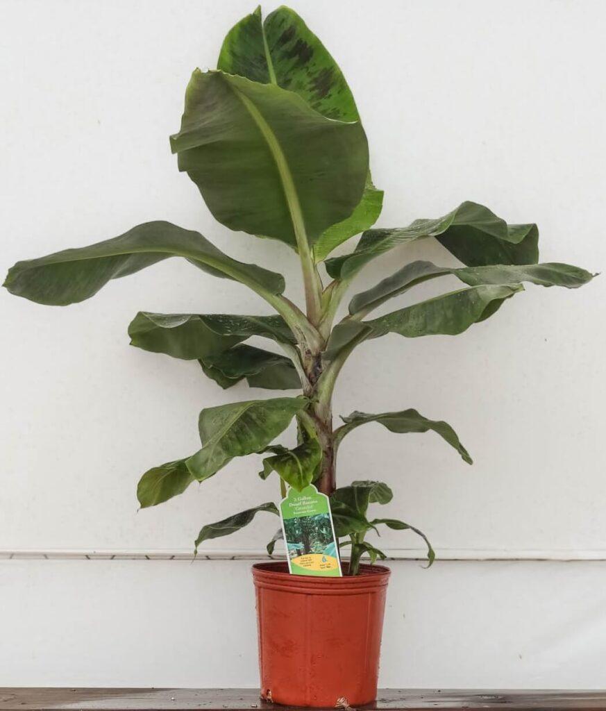 Dwarf Banana Cavendish Tree