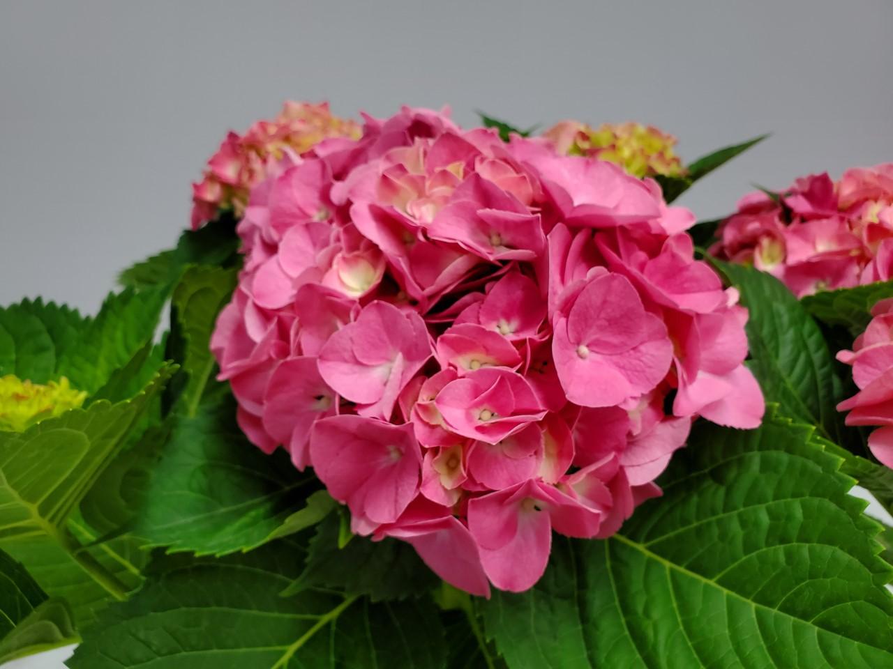 Hydrangea Pink 3 Gallon