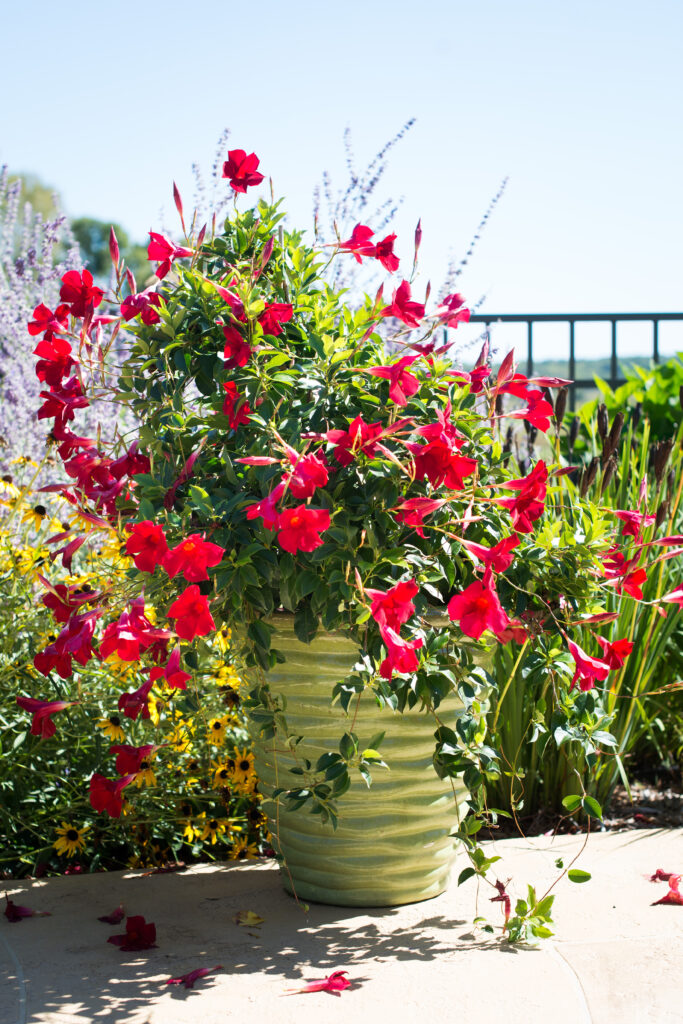 Red Giant Mandevilla Trellis