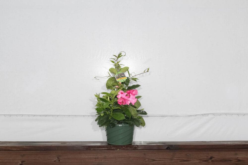 Mandevilla Pink Hanging Basket