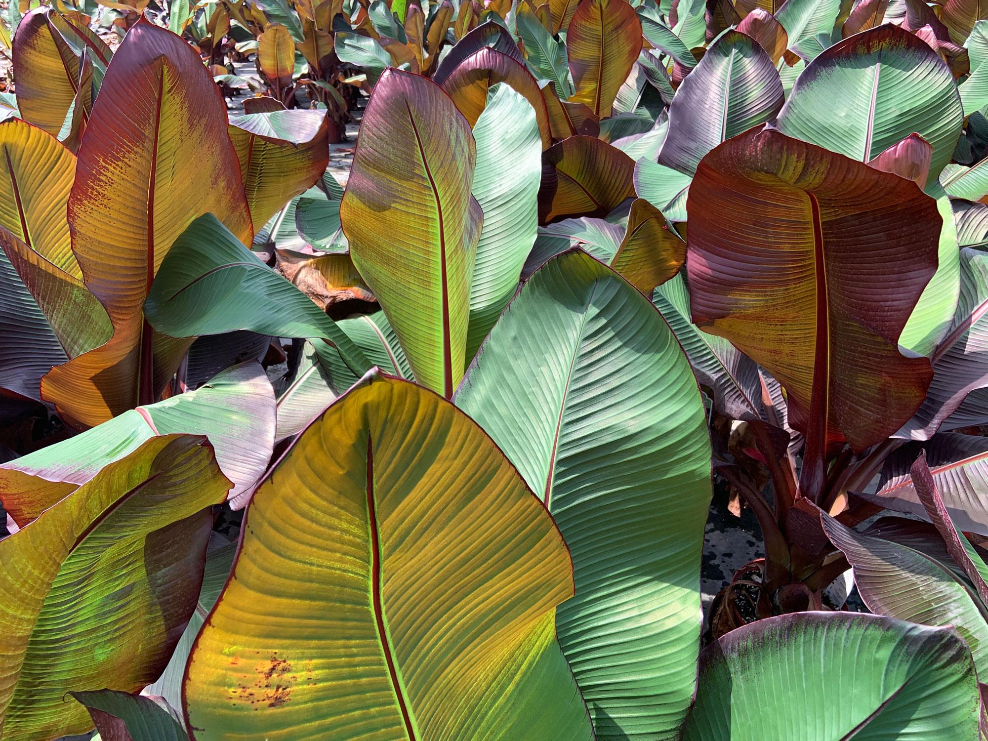 Banana Ensete Maurelii